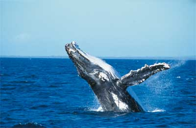 Great Sandy - © Fraser Coast South Burnett Tourism - Humpback whale