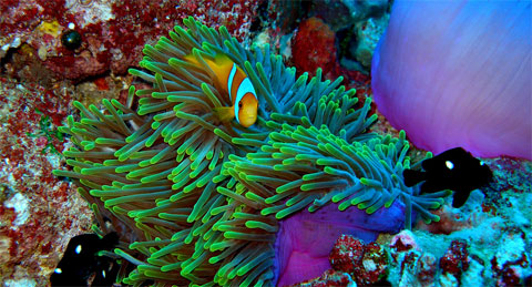 Clownfish and anemone - credit Alasdair Harris, Blue Ventures Conservation