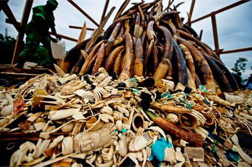 © WWF-Canon / James Morgan - Destruction des saisies du commerce illégal de l'ivoire